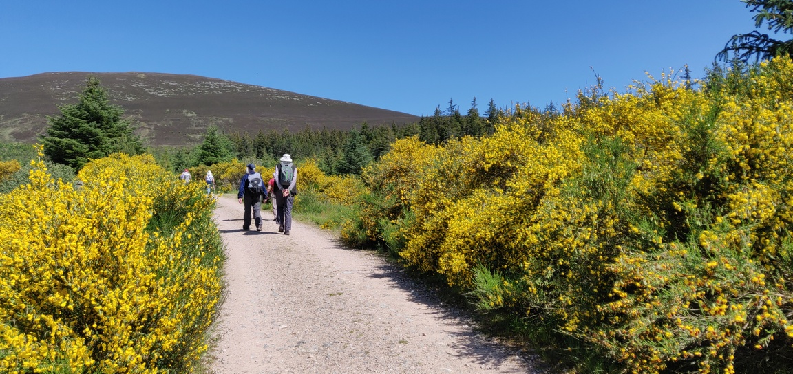 People walking on a track lined with yellow broome